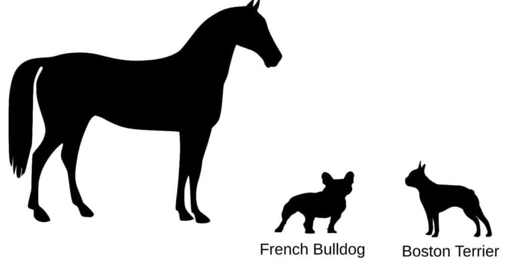 Size comparison of horse Boston Terrier and French Bulldog