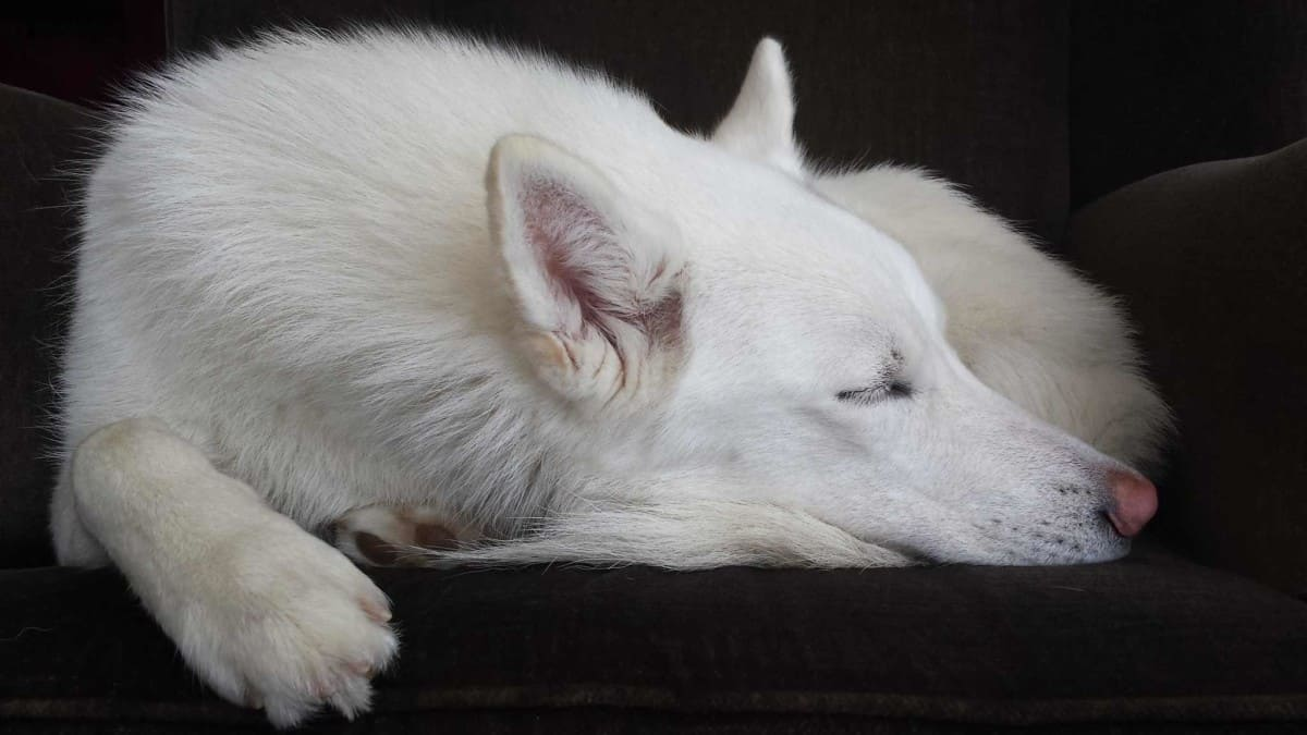 Do Siberian Huskies hibernate?