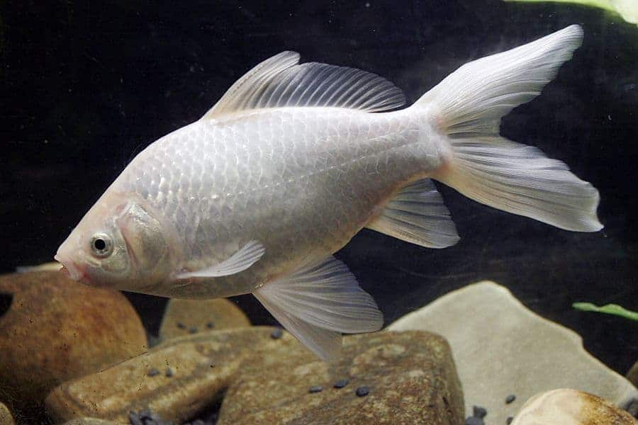 Why is my goldfish turning white? White goldfish