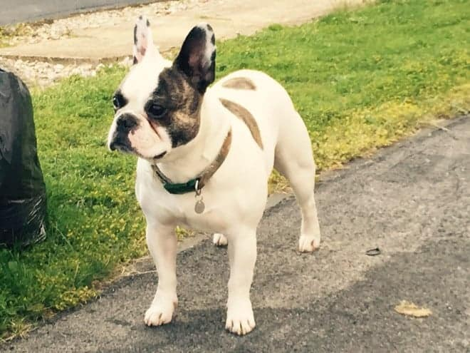 The picture above is of a White and Brindle French Bulldog