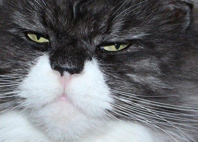Why is my Maine Coon Cat so mean?