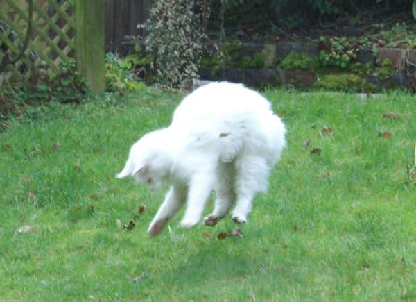 White cat landing from fall