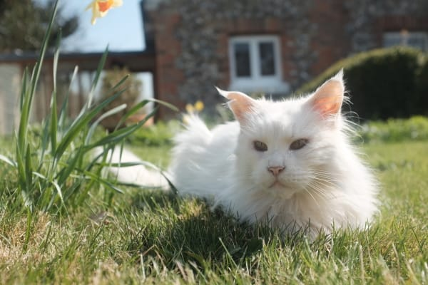 Picture above is of a white cat loafing on a lawn