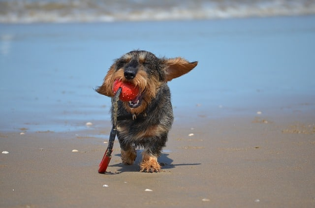 Are Dachshunds hard to train? Dog with ball