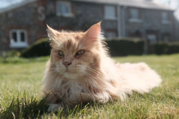 Picture above is of a Maine Coon loafing in the sun