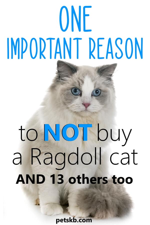 Reasons not to buy a Ragdoll cat