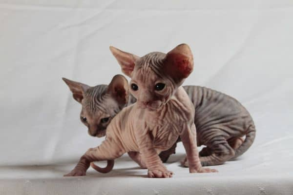 Are Sphynx Cats Aggressive? Kittens