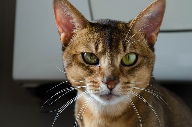 Are Abyssinian cats aggressive