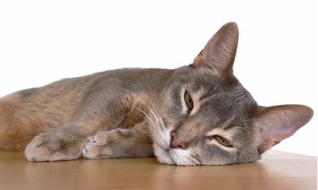 Are Abyssinian Cat's Aggressive?