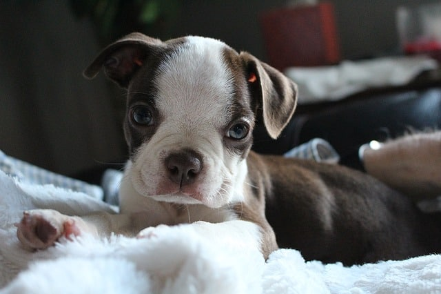 Is the Boston Terrier right for me