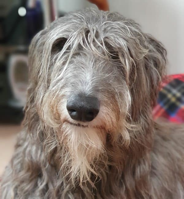 What does the deerhound look like?