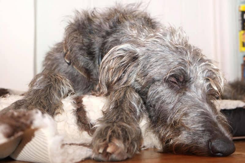 Do Scottish Deerhounds Make Good Pets?