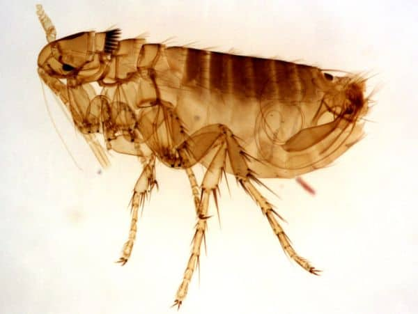 Picture above is of a flea