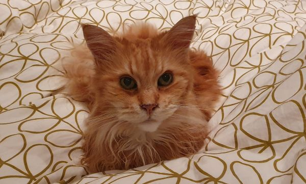 Picture above is of a Maine Coon loafing on a bed