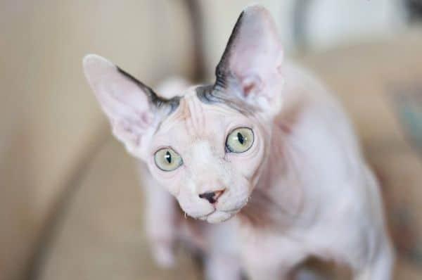 Picture above is of a Sphynx cat staring
