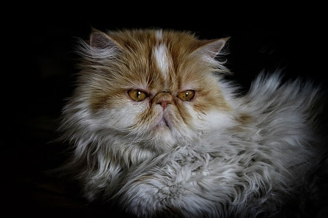 Is the Persian cat smart?