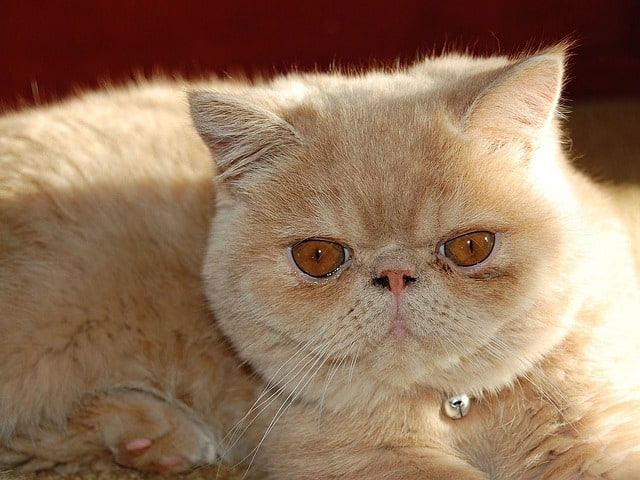 Why does my Persian cat smell?