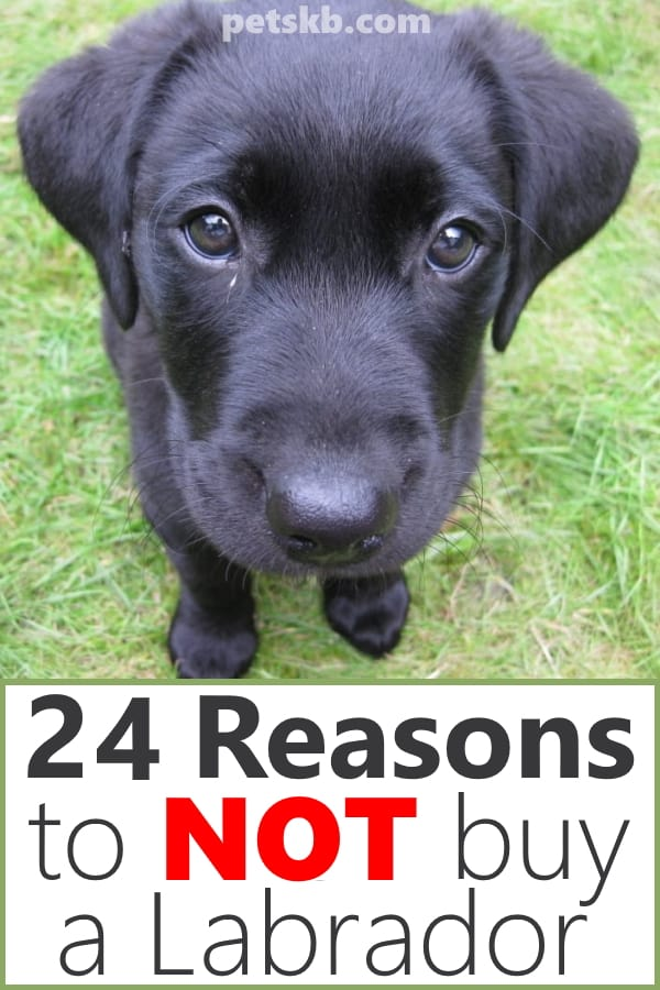 Reasons not to buy a Labrador