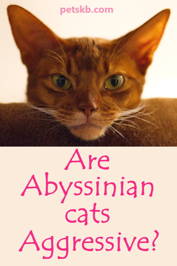 Is the Abyssinian an aggressive cat?