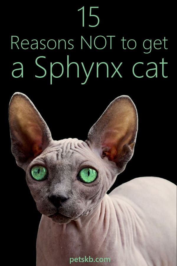 15 reasons to not get a Sphynx cat