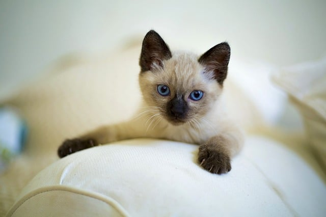 Are Ragdoll Cats Cuddly? Siamese kitten