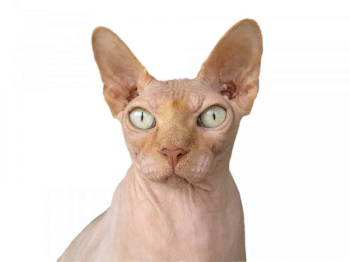 Closeup of Sphynx cat