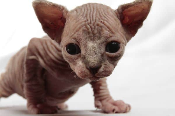 Why do Sphynx cats cost so much? kitten