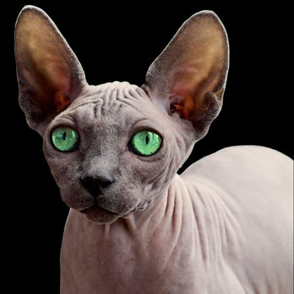 Picture above is of a green-eyed Sphynx cat