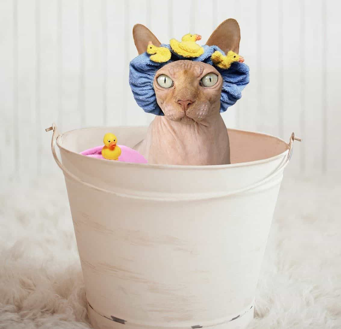 Sphynx cat in a tin bath