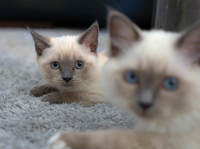 When Will My Siamese Cat Calm Down?