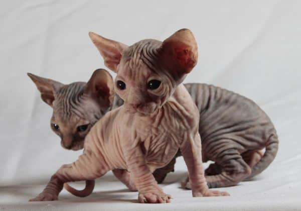 Picture above is of two Sphynx kittens