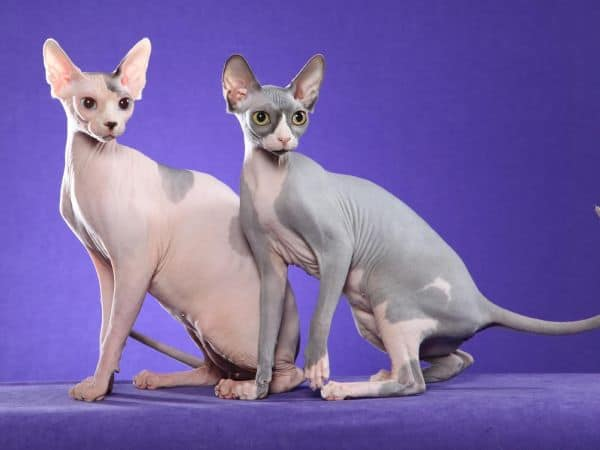 Are Sphynx Cats Aggressive? two Sphynx