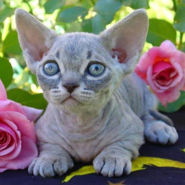 Do Hairless Cats Have Hair?