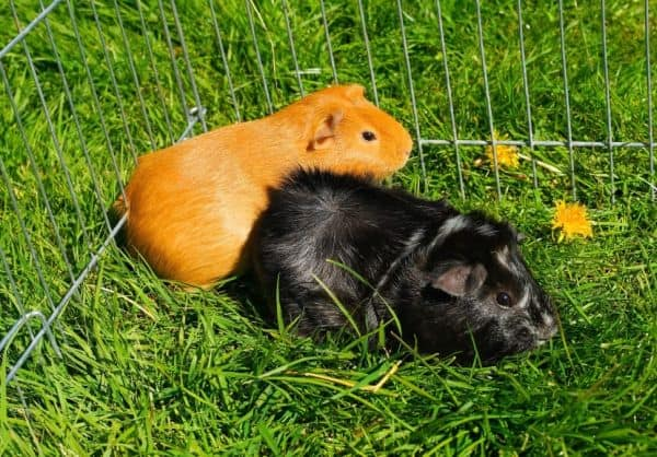 Two guinea pigs