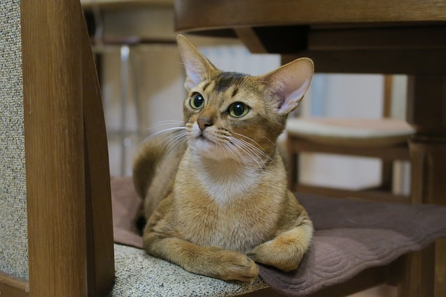 Are Abyssinian cats cuddly