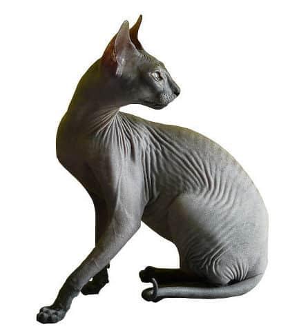 Hairless cat: Donskoy