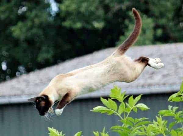 Can cats glide? Gliding Siamese