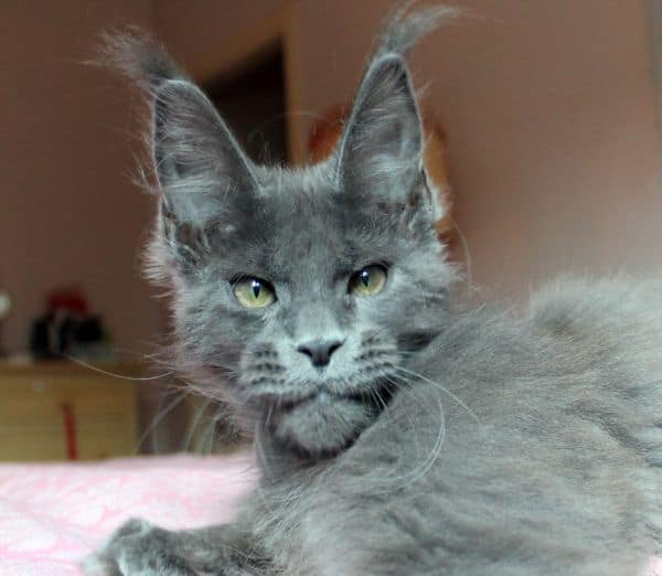 A stunning grey Maine Coon cat with pale green eyes.