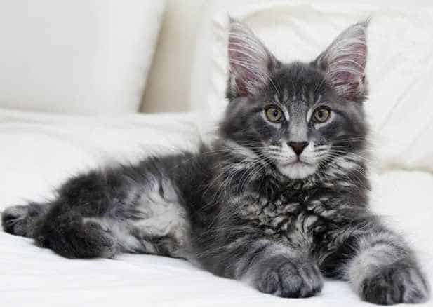 A grey Maine Coon tabby kitten laying on a white bed.