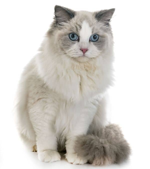 Do Ragdoll cats drool? Sitting up