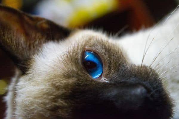 How much do Siamese cats cost: Siamese cat price