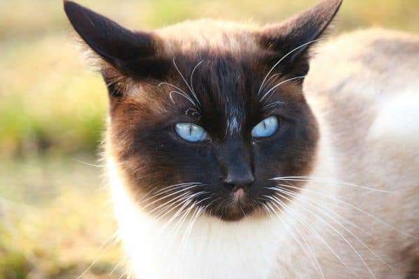 Do Siamese Cats drool? Closeup