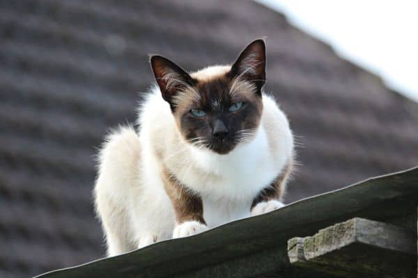 How Much Do Siamese Cats Cost? Cat on roof
