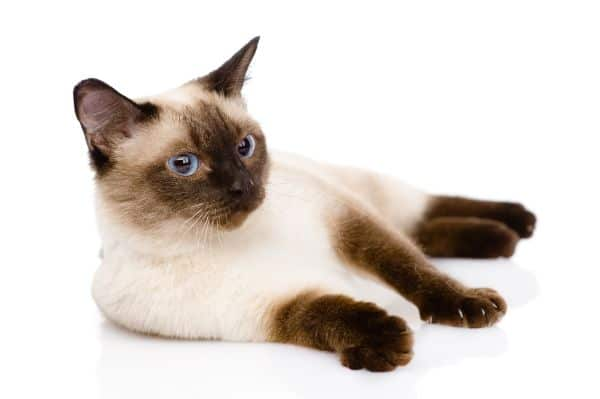 Do Siamese cats drool? Cat on side