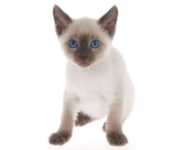 How much do Siamese cats cost? Kitten