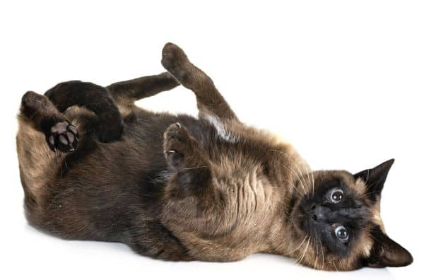 How Much Do Siamese Cats Cost? Siamese on its back
