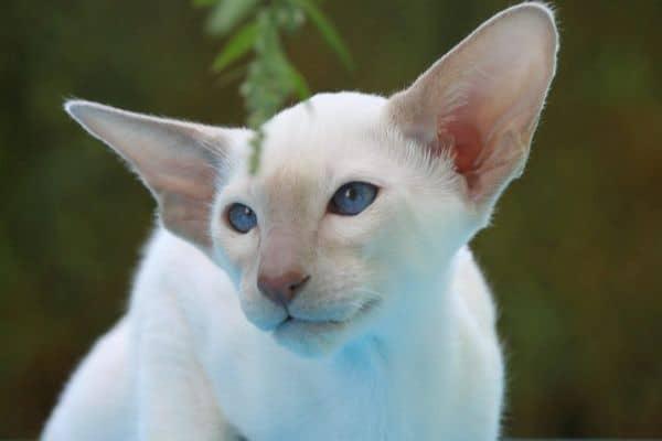 Hairless cat: The Peterbald