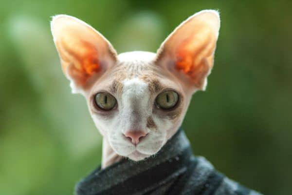 Sphynx cat with hair: Sphynx in jumper