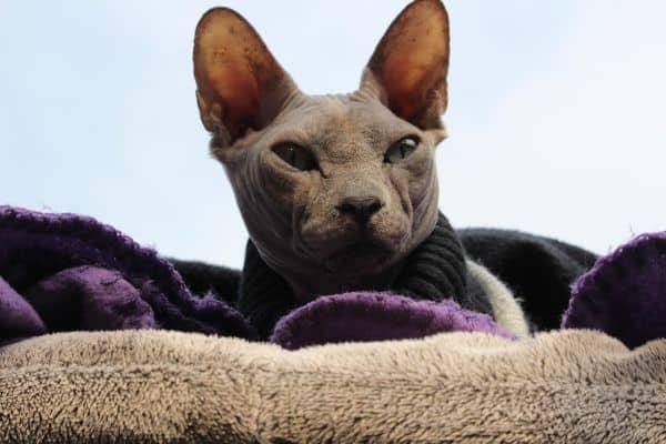 Hairless cat: Sphynx face