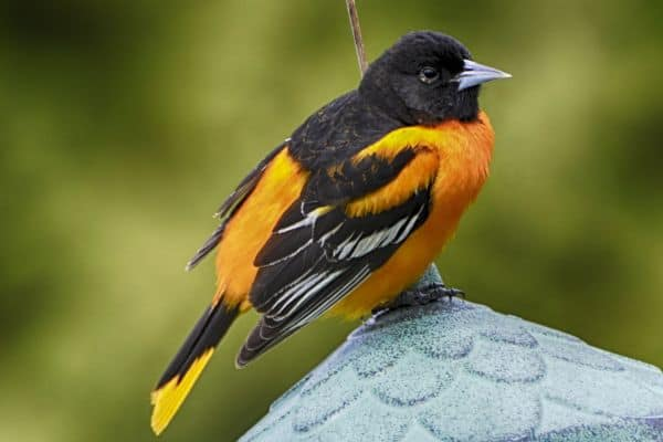 The Calico Maine Coon: Baltimore Oriole